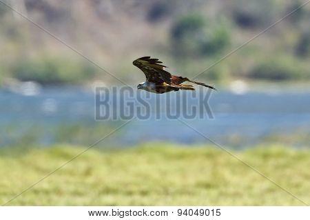 Brahminy Kite In Flight In Pottuvil, Sri Lanka
