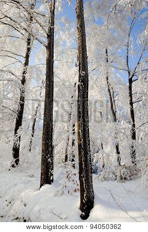Hard rime forest