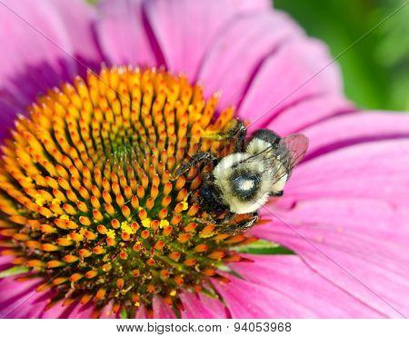 Macro Bee Gathering Pollen