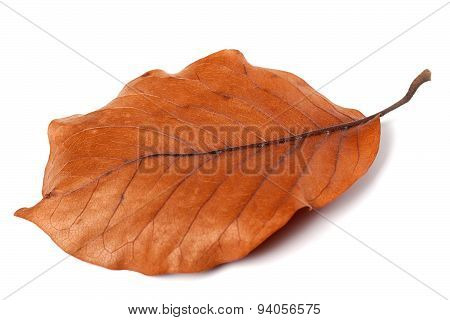 Dry Autumn Leaf Of Magnolia