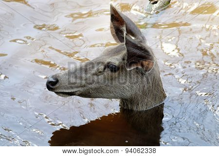 The Female Sambar Deer Rusa Unicolor