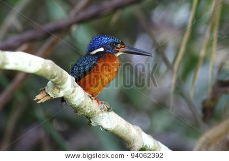 Blue-eared Kingfisher Alcedo Meninting