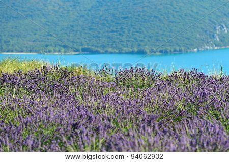 Lavender On The Shore Of Verdon River