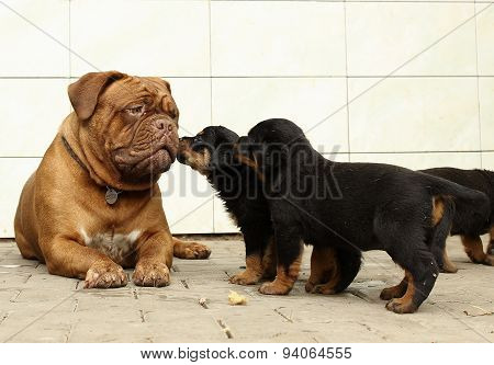 Dogue de Bordeaux and Rottweiler puppies play