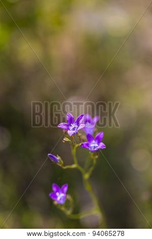 Blooming Bluebell Flowers