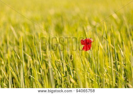Poppy Flower Growing On Cereal Field
