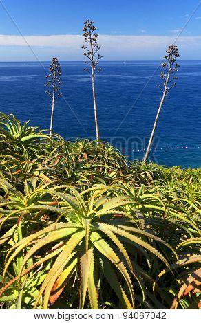 Tropical plants on southern coast of Madeira island, Portugal, Europe