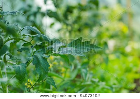 Blooming Twigs Of Tomatoes