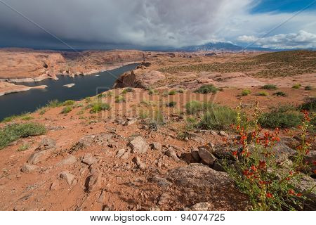 Desert Globemallow - Apricot Mallow Lake Powell Near Hole In The Rock Escalante Utah Landscape