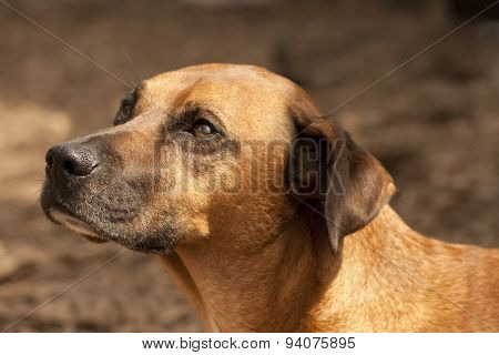 Beautiful brown dog portrait