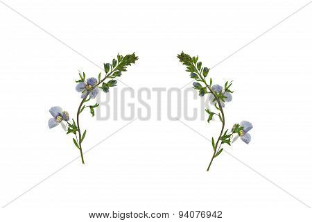 Pressed and Dried flower Veronica officinalis. Isolat