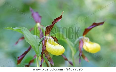 Side View Of Two Plants Of Yellow Lady's Slippers Orchids