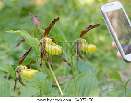 Photographing Plants Of Yellow Lady's Slippers Orchids