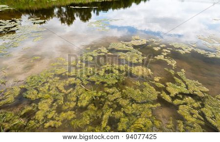 Shallow Clear Water Covered With Swollen Duckweed