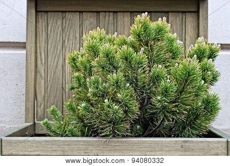 Garden fir tree