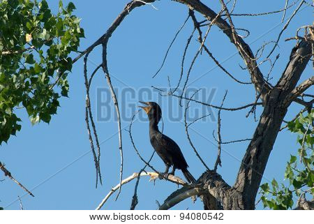 Double-Crested Cormorant perched in tree