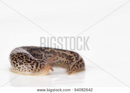 Leopard Slug With Keel