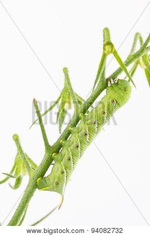 Tobacco Hornworm on tomato cluster