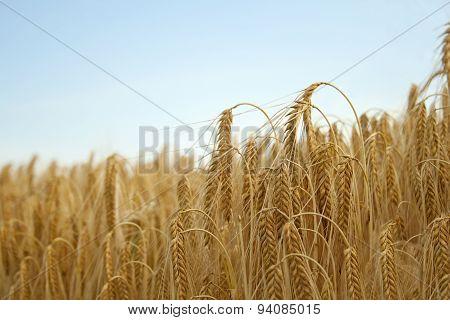 cornfield close up