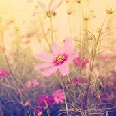 picture of cosmos flowers  - Cosmos flower and sunlight with vintage effect - JPG