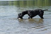 picture of great dane  - Black Great Dane and a small black dog are in the lake - JPG