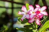 foto of desert-rose  - Closeup of Pink Desert Rose or Impala Lily tropical flower - JPG