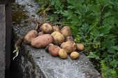 picture of potato-field  - closed up the potato on ground Nepal  - JPG