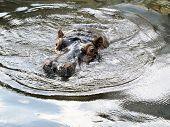 pic of hippopotamus  - The hippopotamus is swimming in the water - JPG