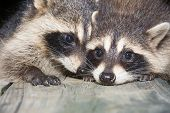 image of scared baby  - Two cute baby raccoons on a wooden deck at night - JPG