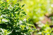 stock photo of oregano  - Fresh green oregano twigs growing in garden - JPG