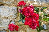 foto of climbing roses  - Climbing red rose flowers on stone wall - JPG