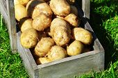 stock photo of wooden crate  - New potatoes in wooden crate over green grass background - JPG