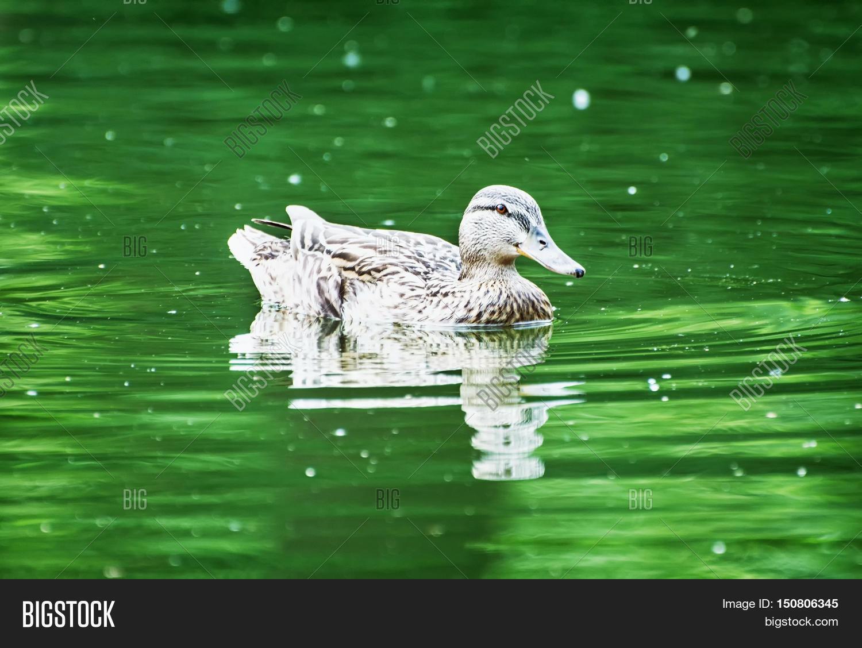 Mallard duck green pond water image photo bigstock for Green pond water
