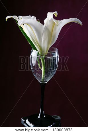 close-up delicate flower white lily in a glass of water on a burgundy background studio