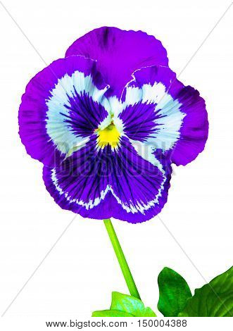 pansies Colorful floral background from flower pansy. violet flower