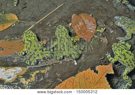 A close up of the frogs (Far-eastern Fire-bellied Toad) (Bombina orientalis).
