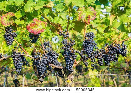 Many hanging blue grape bunches in vineyard
