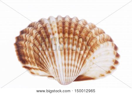 single sea shell of mollusk isolated on white background close up.