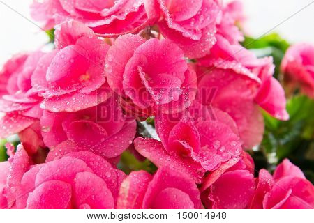 Pink azalea flowers room with a water drops Close up