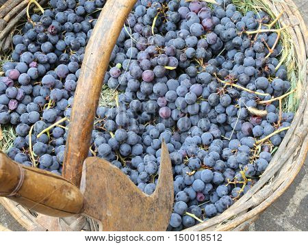Grapes In The Wicker Basket After Harvesting