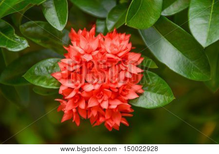Low key of Blurred with noise Red flower spike or Oxymora coccinea