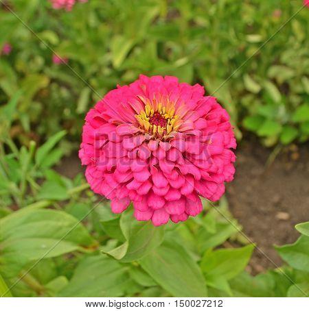 Full Bloom Bright Pink Zinnia Flower