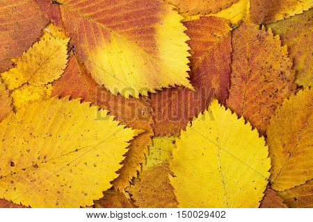 Natural background from autumn yellow colourful leaves