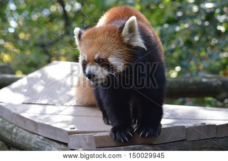 Adorable lesser panda bear on a platform.