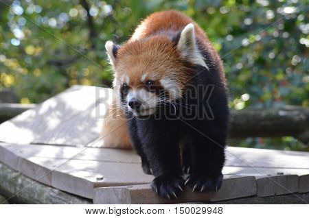 Red panda bear standing on an elevated platform.