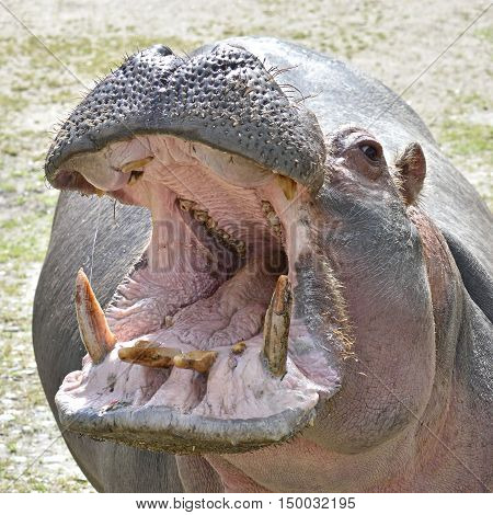 Closeup image of a Hippopotamus with open mouth