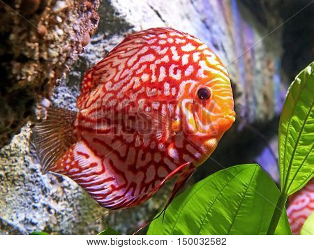 Red pigeon blood discus in its natural habitat