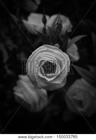 Close-up image of beautiful white rose with blurred background Symbol of love Black and white Low key tone