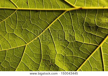 Photo fresh green leaf with clearly visible veined nerve and slightly undulating surface very interesting natural plant background and texture. Horizontal view.
