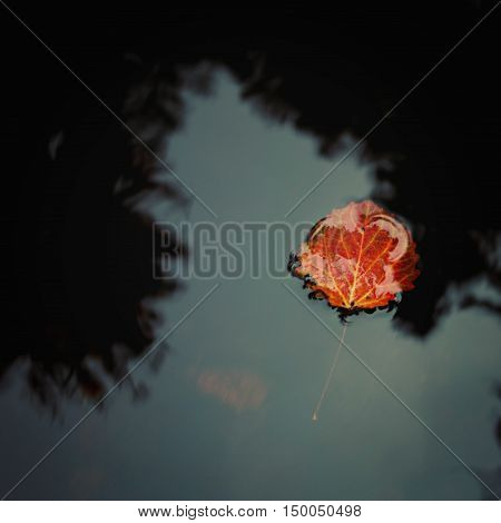 Red aspen leaf floating on the water. Autumn photo. Creek in the forest. Toned effect. Close-up of lake surface with color autumn leaf. Valaam Karelia Russia.